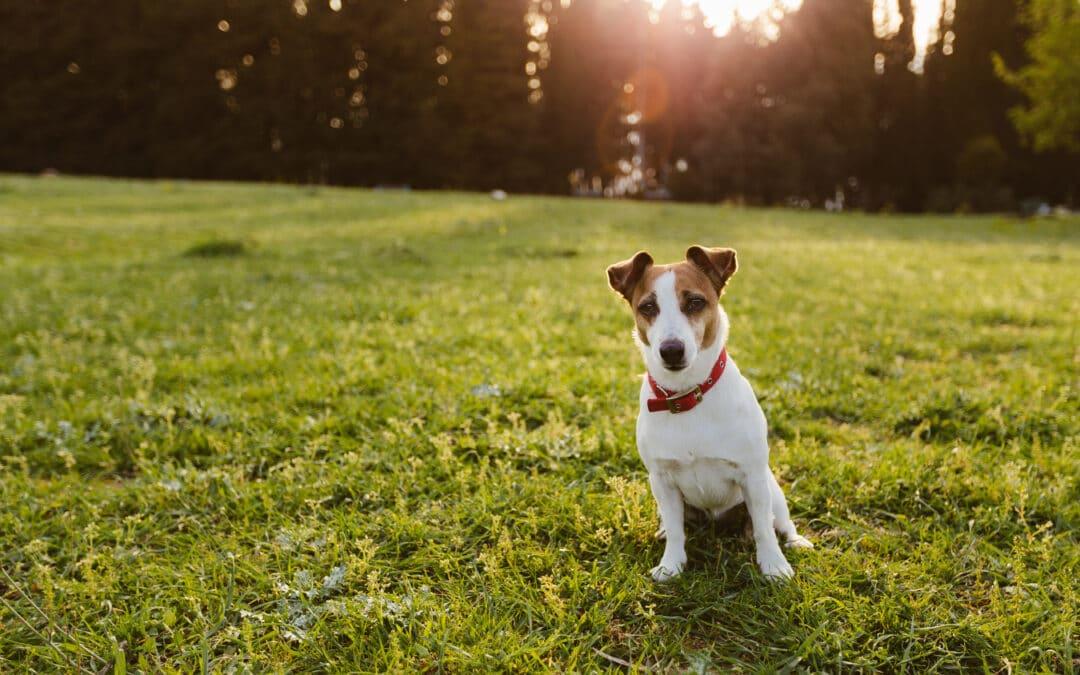 Tout savoir sur l'huile de CBD pour les chiens